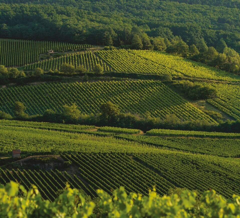Schieferkopf vineyard, alsatians wines