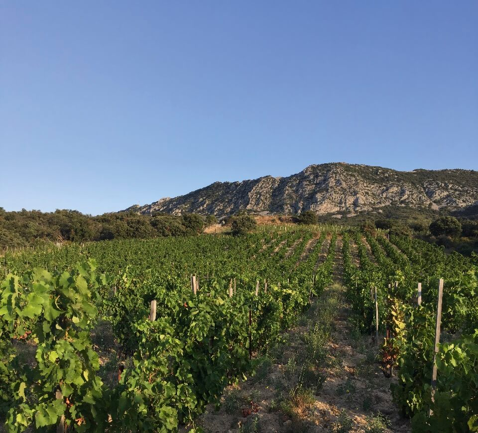 Roussillon vines