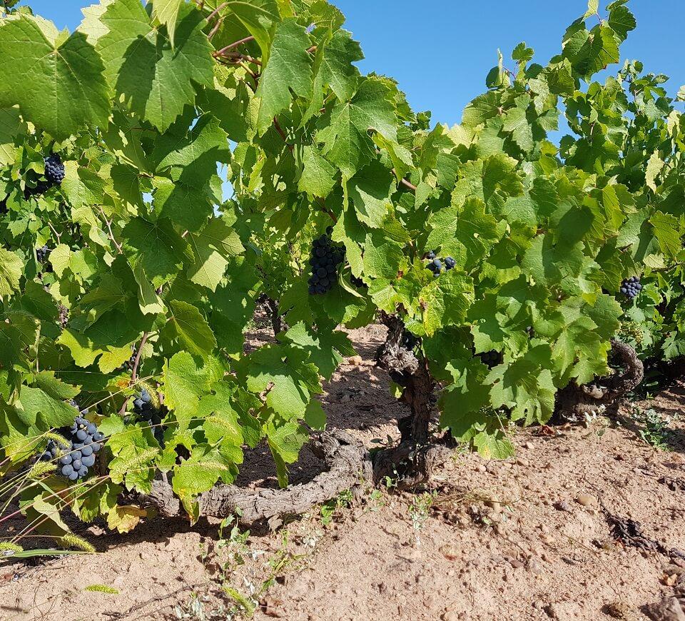 Maison Trenel harvest burgundy beaujolais