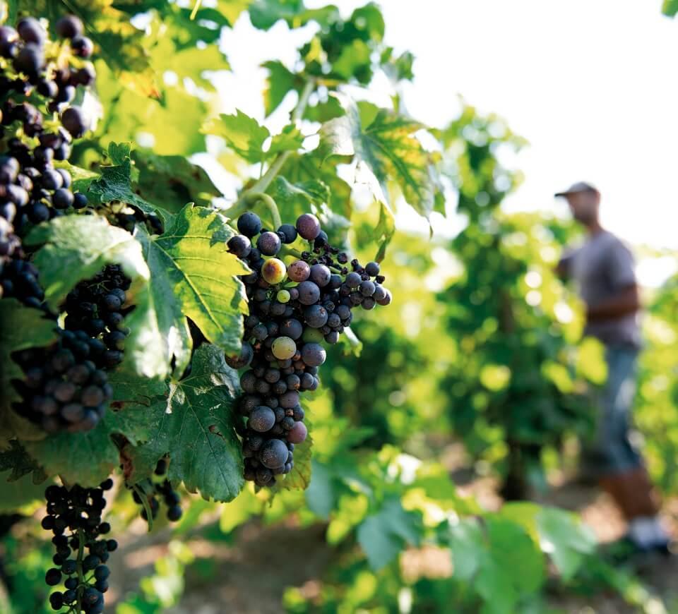 Grappes de raisin Vallée du Rhône M Chapoutier