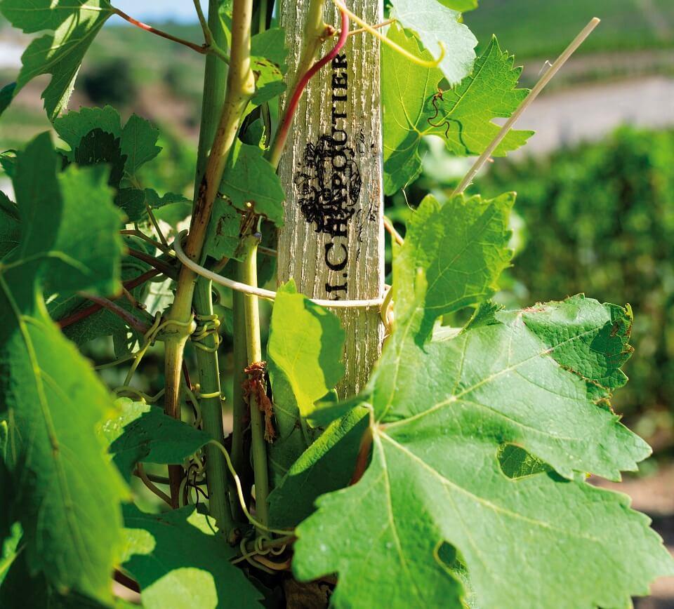 Vignes M Chapoutier Vallée du Rhône