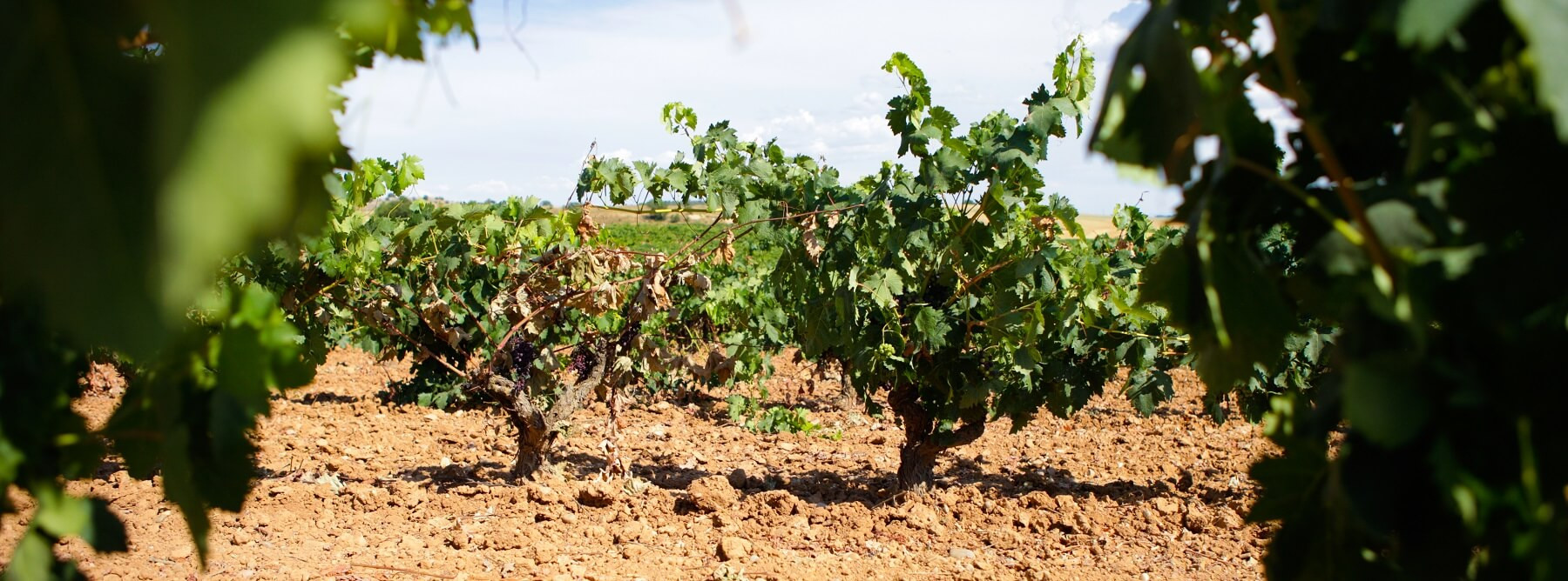 Ribera Del Duero : a beautiful 2019 vintage for spanish wines